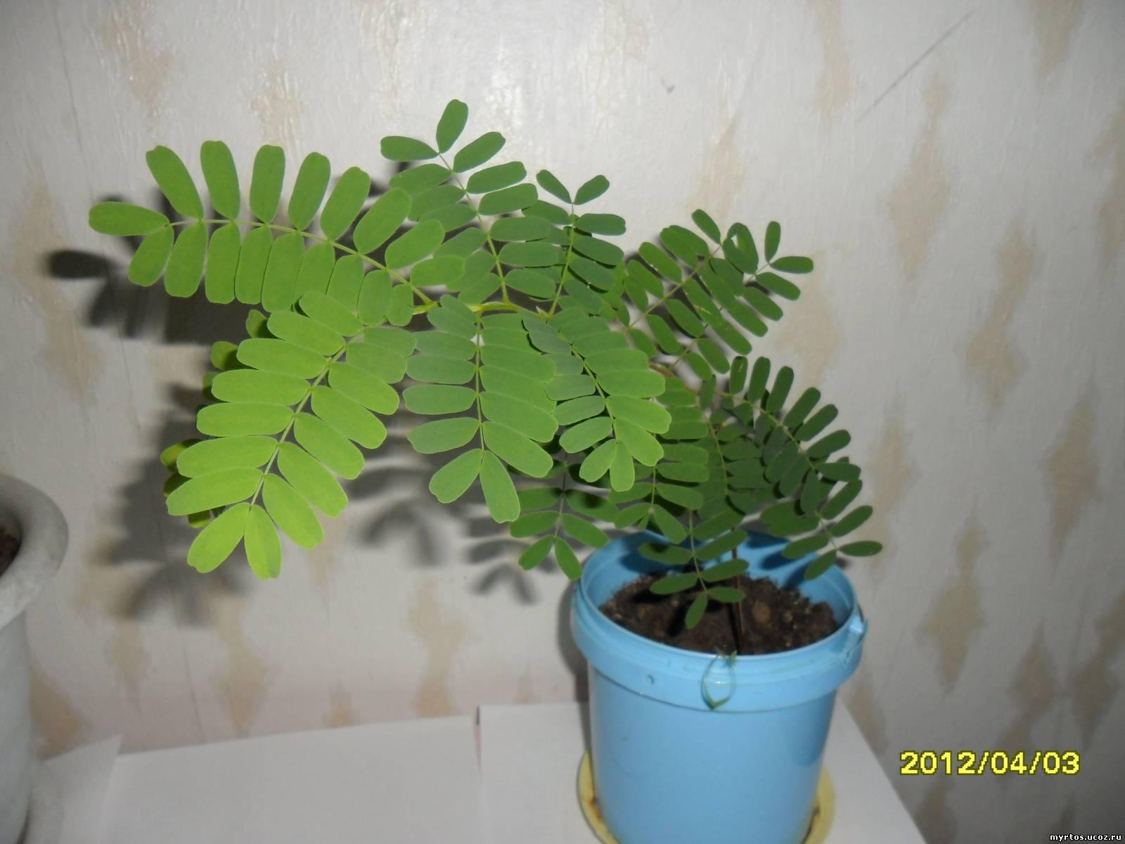 Дерево тамаринд в домашних условиях