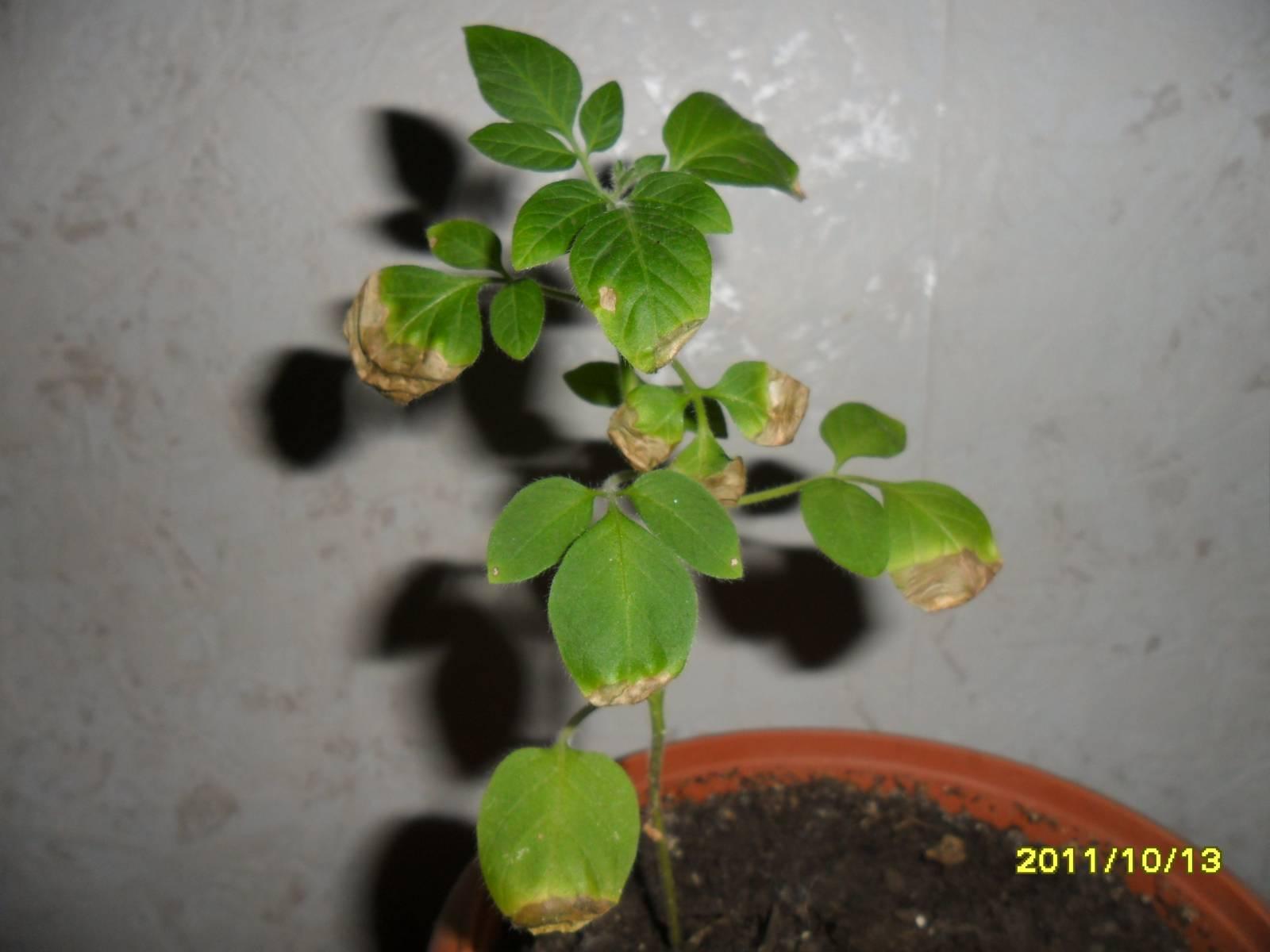 Выращивание пепино в домашних условиях 775