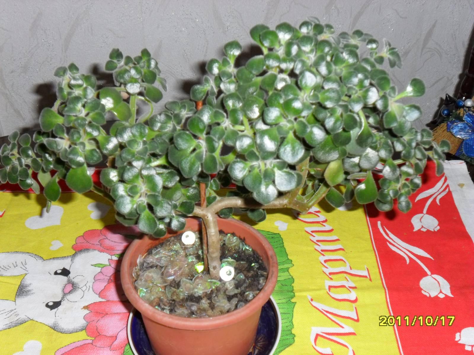 Аихризон комнатные растения